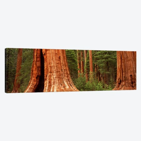 Giant sequoia trees in a forest, California, USA Canvas Print #PIM9088} by Panoramic Images Canvas Artwork
