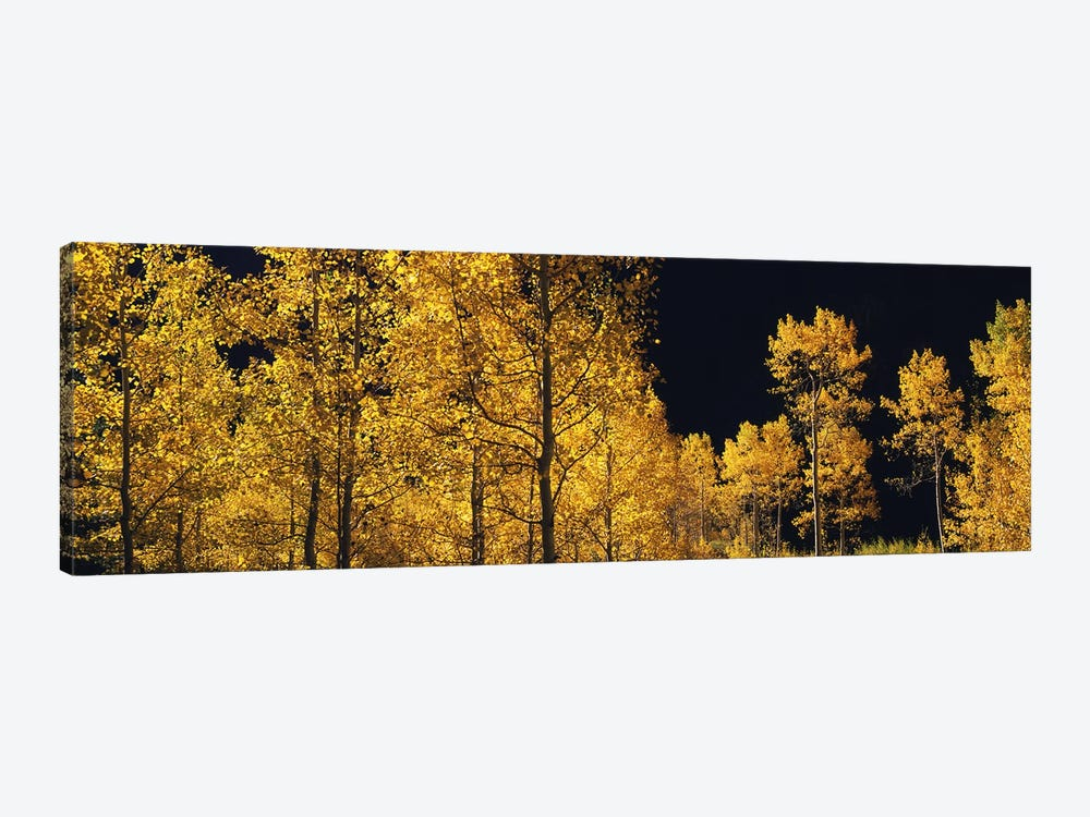Aspen trees in autumn, Colorado, USA #6 by Panoramic Images 1-piece Canvas Wall Art