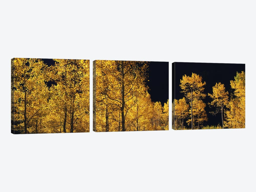 Aspen trees in autumn, Colorado, USA #6 by Panoramic Images 3-piece Canvas Art