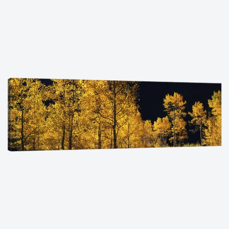 Aspen trees in autumn, Colorado, USA #6 Canvas Print #PIM9094} by Panoramic Images Canvas Wall Art