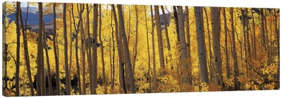 Aspen trees in autumn, Colorado, USA #2 Canvas Art Print
