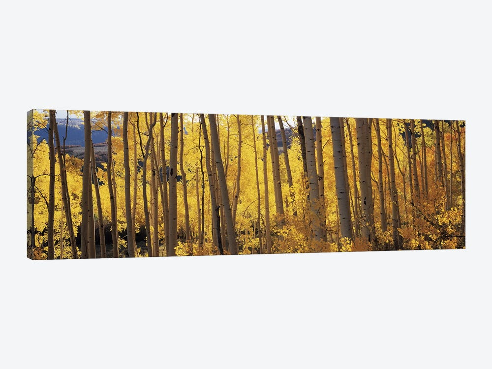 Aspen trees in autumn, Colorado, USA #2 by Panoramic Images 1-piece Canvas Print