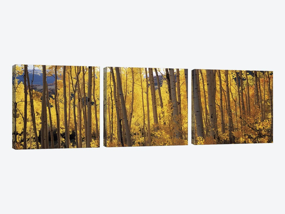 Aspen trees in autumn, Colorado, USA #2 by Panoramic Images 3-piece Art Print