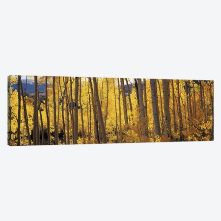 Aspen trees in autumn, Colorado, USA #2 Canvas Print #PIM9095} by Panoramic Images Canvas Wall Art