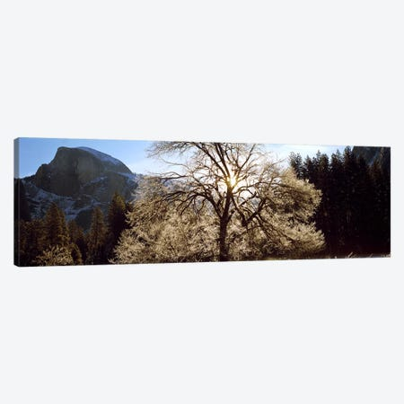 Low angle view of a snow covered oak tree, Yosemite National Park, California, USA #2 Canvas Print #PIM9129} by Panoramic Images Canvas Art Print