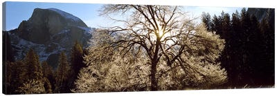 Low angle view of a snow covered oak tree, Yosemite National Park, California, USA #2 Canvas Art Print