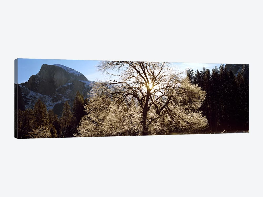 Low angle view of a snow covered oak tree, Yosemite National Park, California, USA #2 1-piece Canvas Print