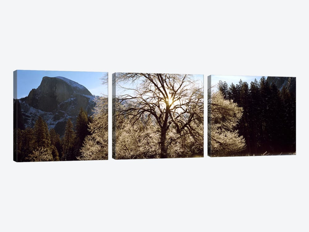 Low angle view of a snow covered oak tree, Yosemite National Park, California, USA #2 by Panoramic Images 3-piece Canvas Art Print
