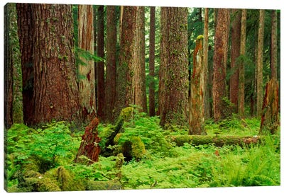Forest floor Olympic National Park WA USA Canvas Print #PIM912
