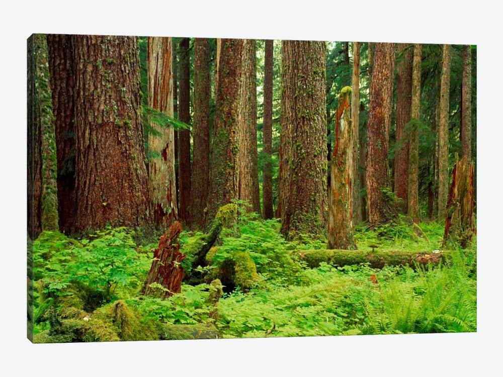 Forest floor Olympic National Park WA USA by Panoramic Images 1-piece Art Print
