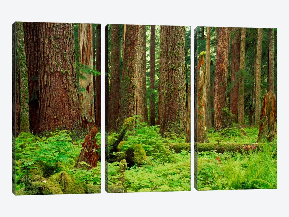 Forest floor Olympic National Park WA USA by Panoramic Images 3-piece Canvas Art Print