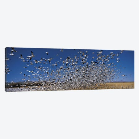 Flock of Snow geese (Chen caerulescens) flying, Bosque Del Apache National Wildlife Reserve, Socorro County, New Mexico, USA Canvas Print #PIM9140} by Panoramic Images Canvas Art Print
