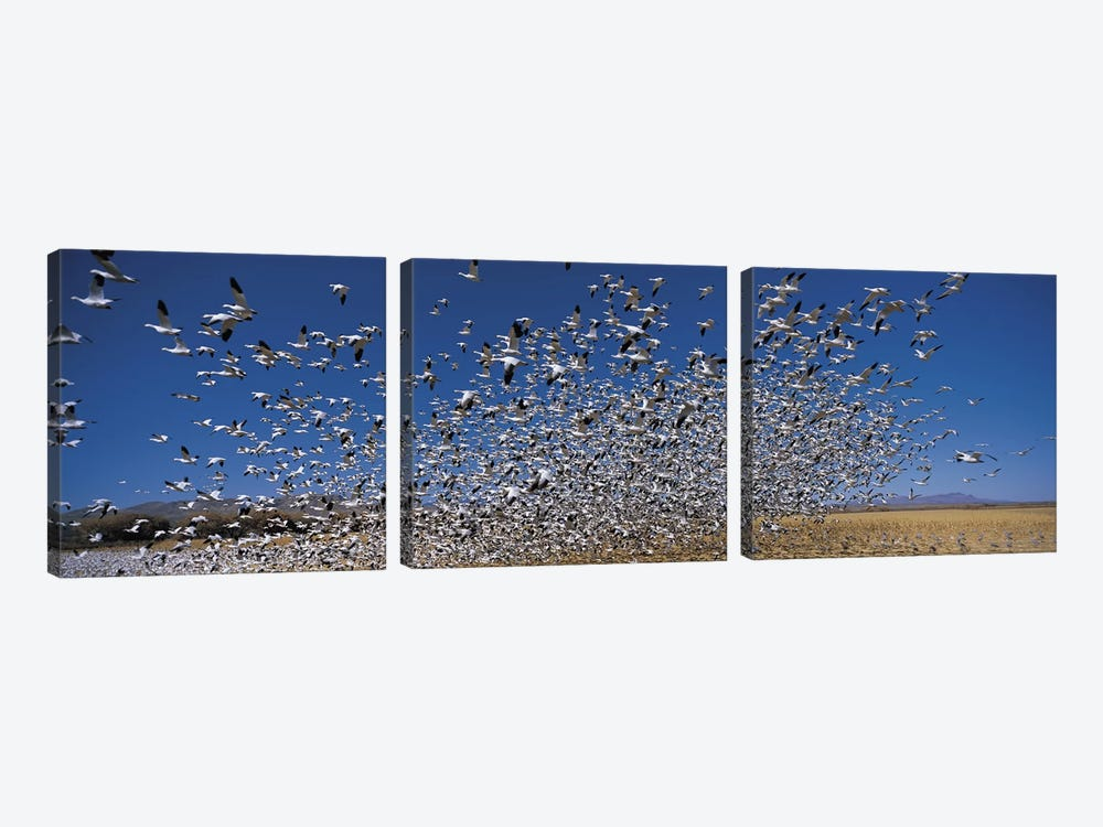 Flock of Snow geese (Chen caerulescens) flying, Bosque Del Apache National Wildlife Reserve, Socorro County, New Mexico, USA by Panoramic Images 3-piece Canvas Art
