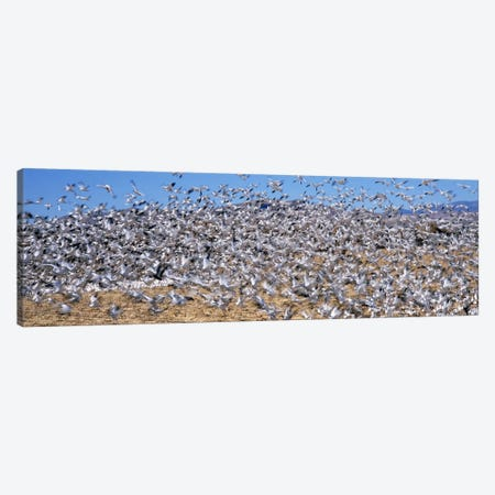 Flock of Snow geese (Chen caerulescens) flying, Bosque Del Apache National Wildlife Reserve, Socorro County, New Mexico, USA #2 Canvas Print #PIM9141} by Panoramic Images Canvas Art Print