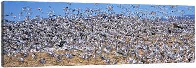 Flock of Snow geese (Chen caerulescens) flying, Bosque Del Apache National Wildlife Reserve, Socorro County, New Mexico, USA #2 Canvas Print #PIM9141