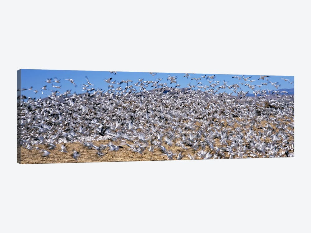 Flock of Snow geese (Chen caerulescens) flying, Bosque Del Apache National Wildlife Reserve, Socorro County, New Mexico, USA #2 by Panoramic Images 1-piece Canvas Art Print