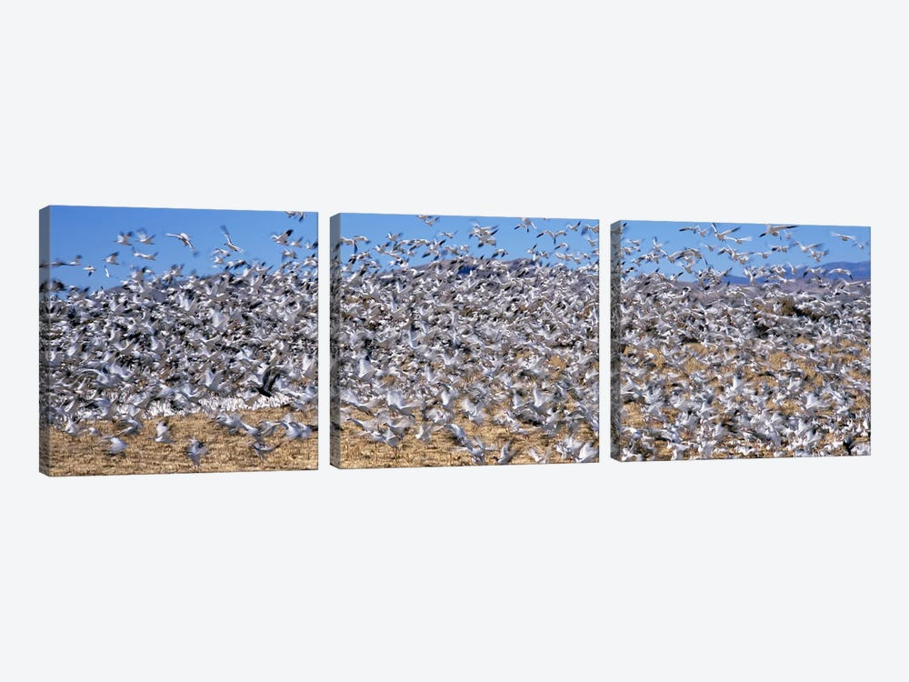 Flock of Snow geese (Chen caerulescens) flying, Bosque Del Apache National Wildlife Reserve, Socorro County, New Mexico, USA #2 3-piece Art Print