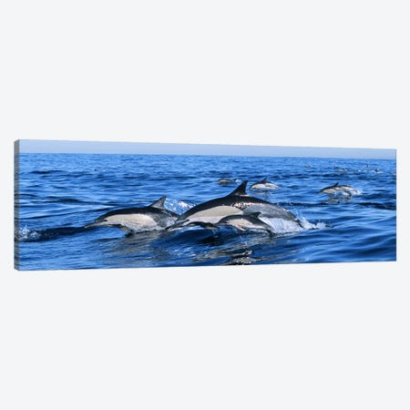 Common dolphins breaching in the sea Canvas Print #PIM9143} by Panoramic Images Canvas Art Print