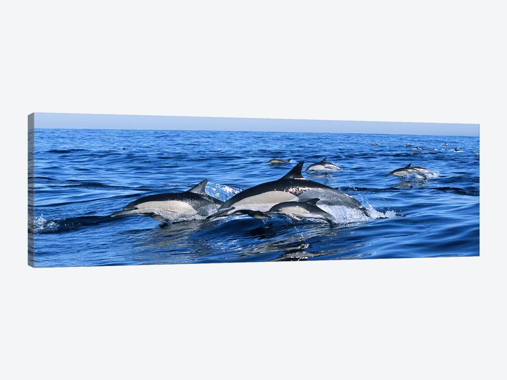 Common dolphins breaching in the sea by Panoramic Images 1-piece Canvas Print