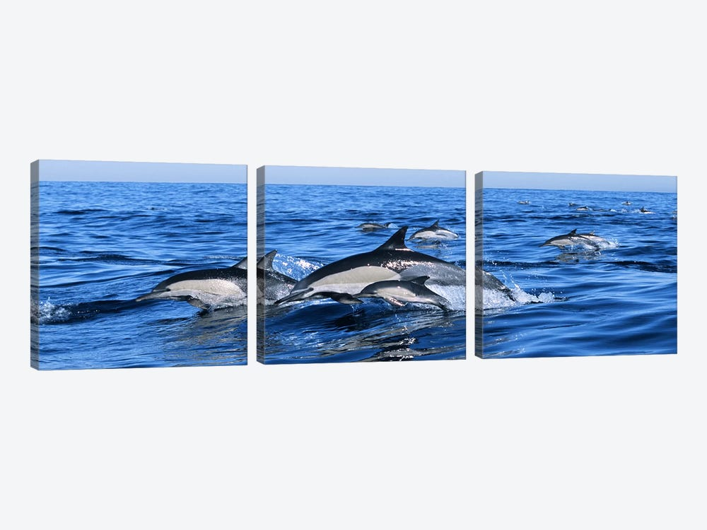 Common dolphins breaching in the sea by Panoramic Images 3-piece Canvas Art Print