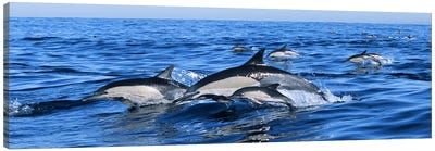 Common dolphins breaching in the sea Canvas Art Print