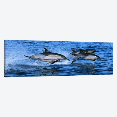 Common dolphins breaching in the sea #2 Canvas Print #PIM9144} by Panoramic Images Canvas Artwork