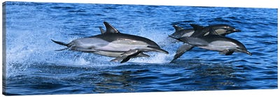 Common dolphins breaching in the sea #2 Canvas Art Print