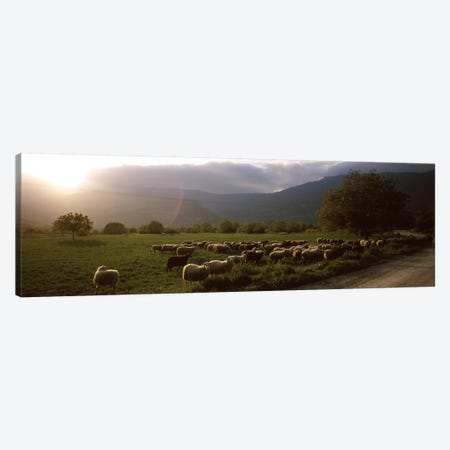 Flock of sheep grazing in a field, Feneos, Corinthia, Peloponnese, Greece Canvas Print #PIM9309} by Panoramic Images Canvas Art Print