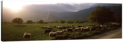 Flock of sheep grazing in a field, Feneos, Corinthia, Peloponnese, Greece Canvas Art Print