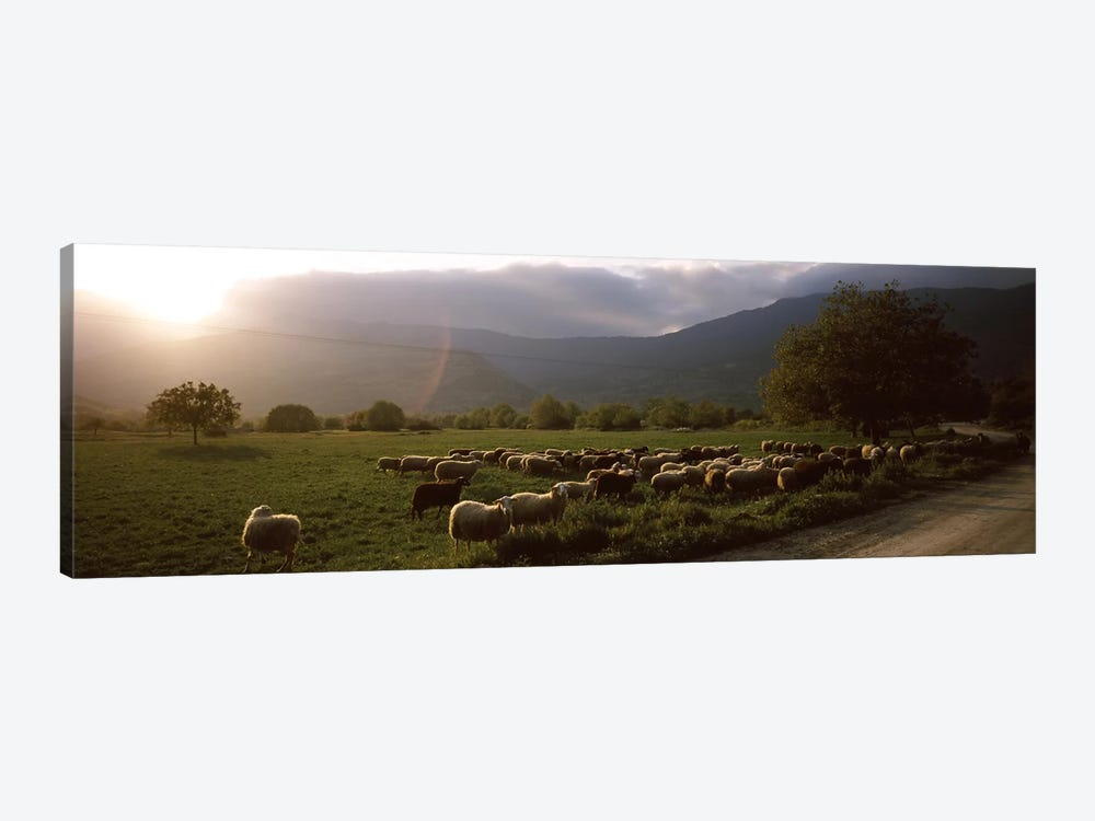 Flock of sheep grazing in a field, Feneos, Corinthia, Peloponnese, Greece by Panoramic Images 1-piece Canvas Artwork