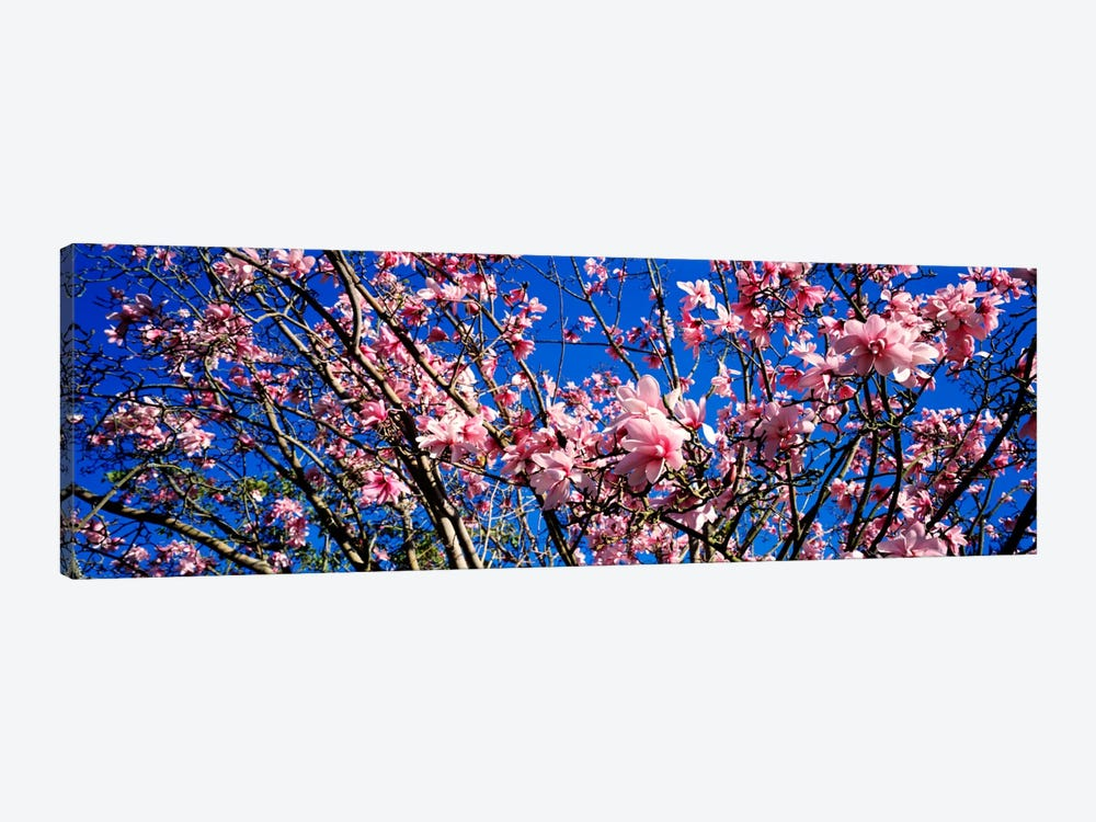 MagnoliasGolden Gate Park, San Francisco, California, USA by Panoramic Images 1-piece Canvas Wall Art