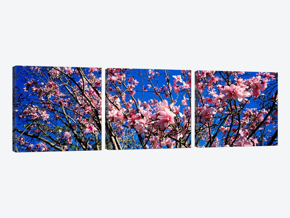 MagnoliasGolden Gate Park, San Francisco, California, USA by Panoramic Images 3-piece Canvas Wall Art