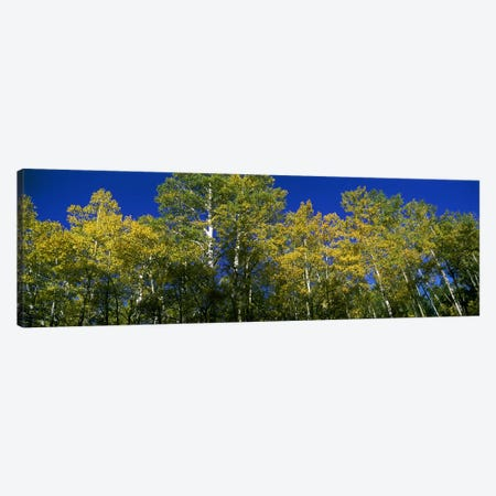 Low angle view of trees, Colorado, USA Canvas Print #PIM9445} by Panoramic Images Canvas Print