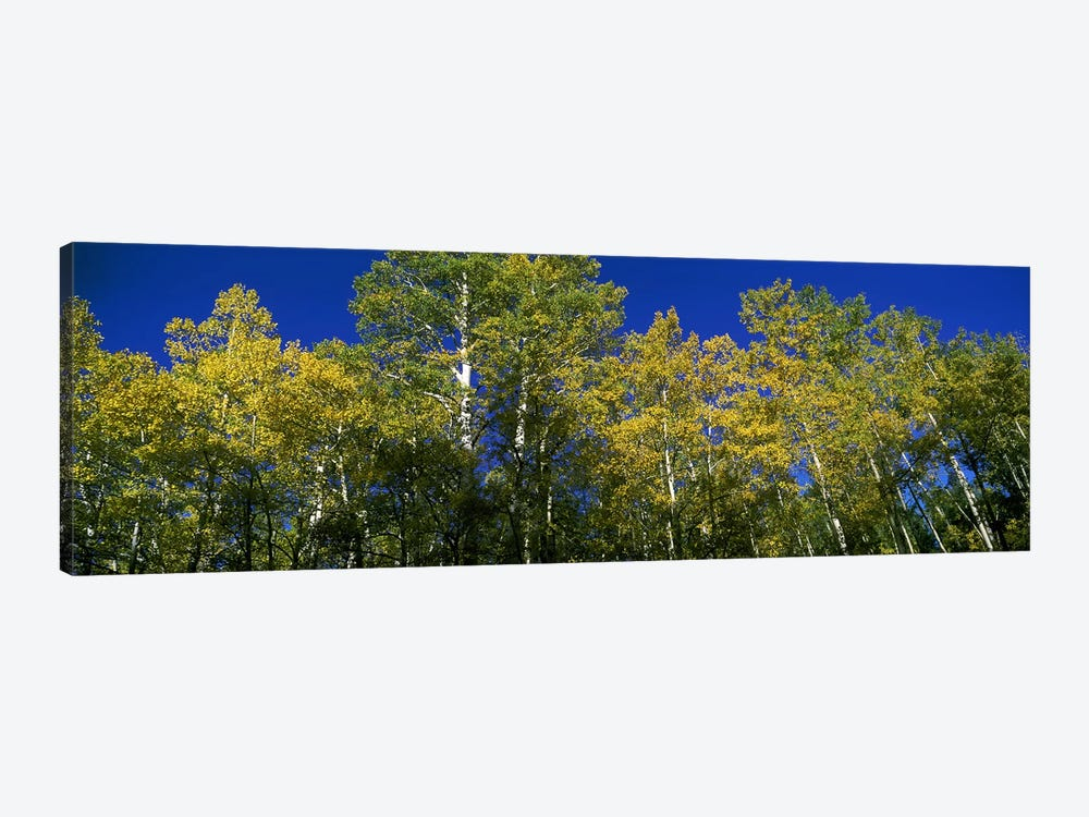 Low angle view of trees, Colorado, USA by Panoramic Images 1-piece Canvas Print
