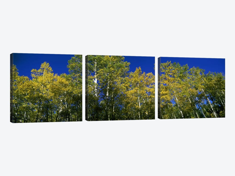 Low angle view of trees, Colorado, USA by Panoramic Images 3-piece Canvas Art Print