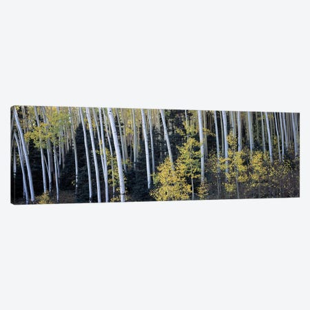 Aspen trees in a forest, Aspen, Pitkin County, Colorado, USA Canvas Print #PIM9448} by Panoramic Images Canvas Art