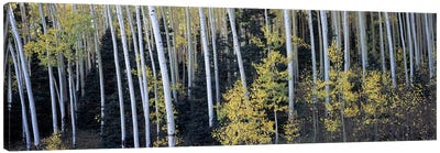 Aspen trees in a forest, Aspen, Pitkin County, Colorado, USA Canvas Art Print