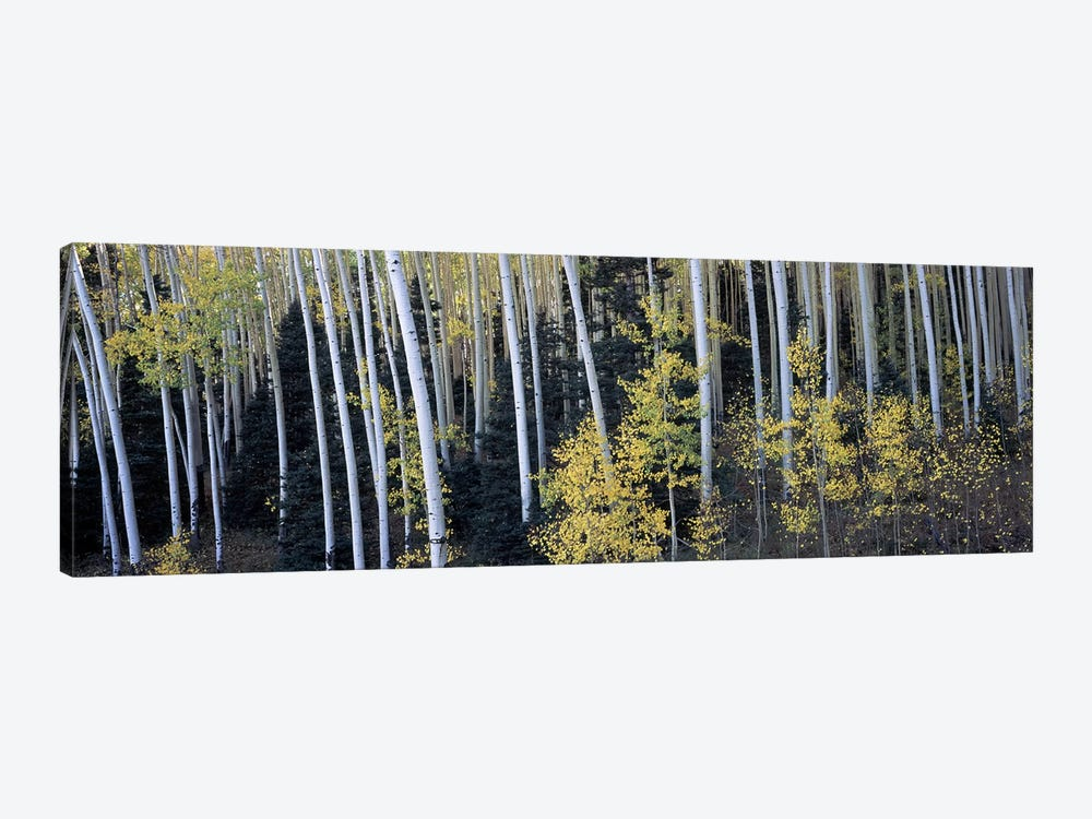 Aspen trees in a forest, Aspen, Pitkin County, Colorado, USA 1-piece Canvas Art