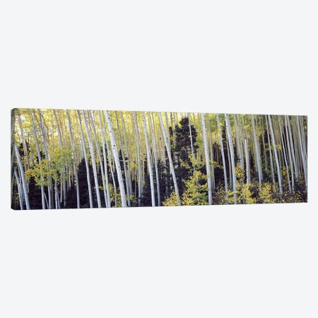 Aspen trees in a forest, Aspen, Pitkin County, Colorado, USA #2 Canvas Print #PIM9449} by Panoramic Images Canvas Art