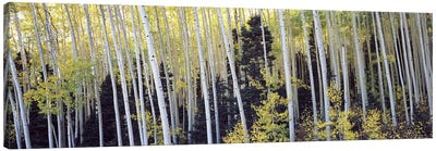 Aspen trees in a forest, Aspen, Pitkin County, Colorado, USA #2 Canvas Print #PIM9449