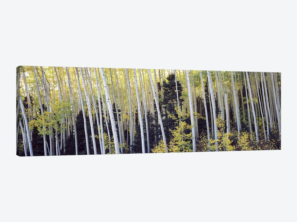 Aspen trees in a forest, Aspen, Pitkin County, Colorado, USA #2 by Panoramic Images 1-piece Canvas Print