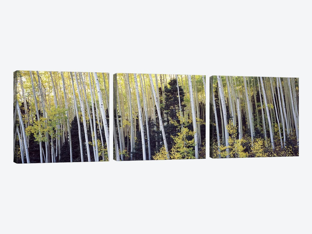 Aspen trees in a forest, Aspen, Pitkin County, Colorado, USA #2 by Panoramic Images 3-piece Canvas Print