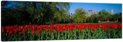 Tulips in a gardenBoston Public Garden, Boston, Massachusetts, USA Canvas Art Print