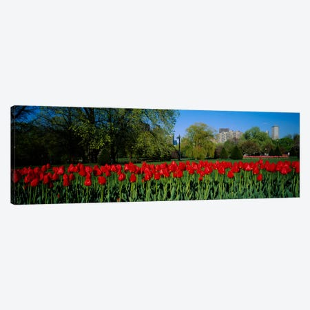 Tulips in a gardenBoston Public Garden, Boston, Massachusetts, USA Canvas Print #PIM946} by Panoramic Images Canvas Wall Art