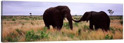 Two African elephants (Loxodonta Africana) socialize on the savannah plains, Kruger National Park, South Africa Canvas Print #PIM9478