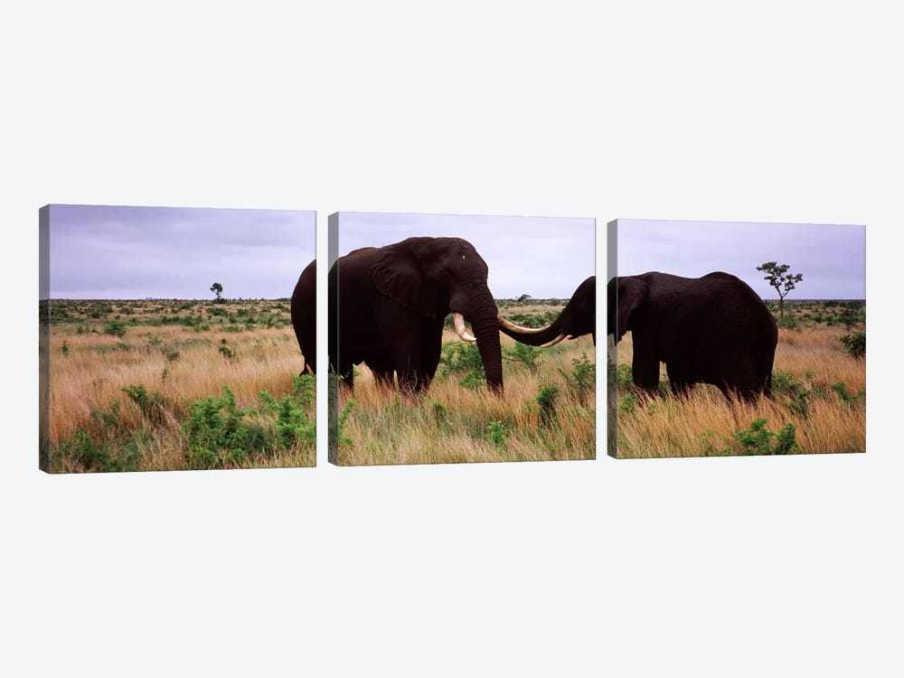 Two African elephants (Loxodonta Africana) socialize on the savannah plains, Kruger National Park, South Africa by Panoramic Images 3-piece Art Print