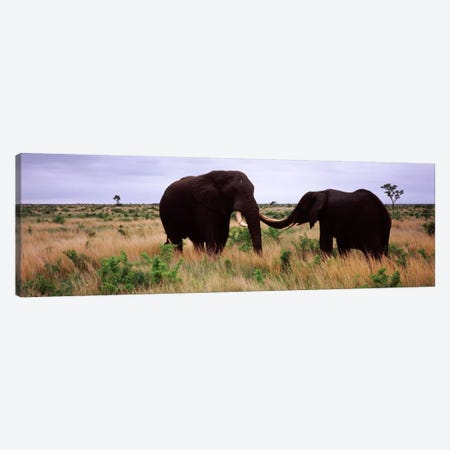 Two African elephants (Loxodonta Africana) socialize on the savannah plains, Kruger National Park, South Africa Canvas Print #PIM9478} by Panoramic Images Art Print
