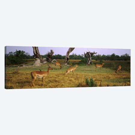Herd of impalas (Aepyceros Melampus) grazing in a field, Moremi Wildlife Reserve, Botswana Canvas Print #PIM9485} by Panoramic Images Art Print