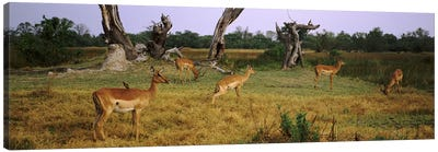 Herd of impalas (Aepyceros Melampus) grazing in a field, Moremi Wildlife Reserve, Botswana Canvas Art Print