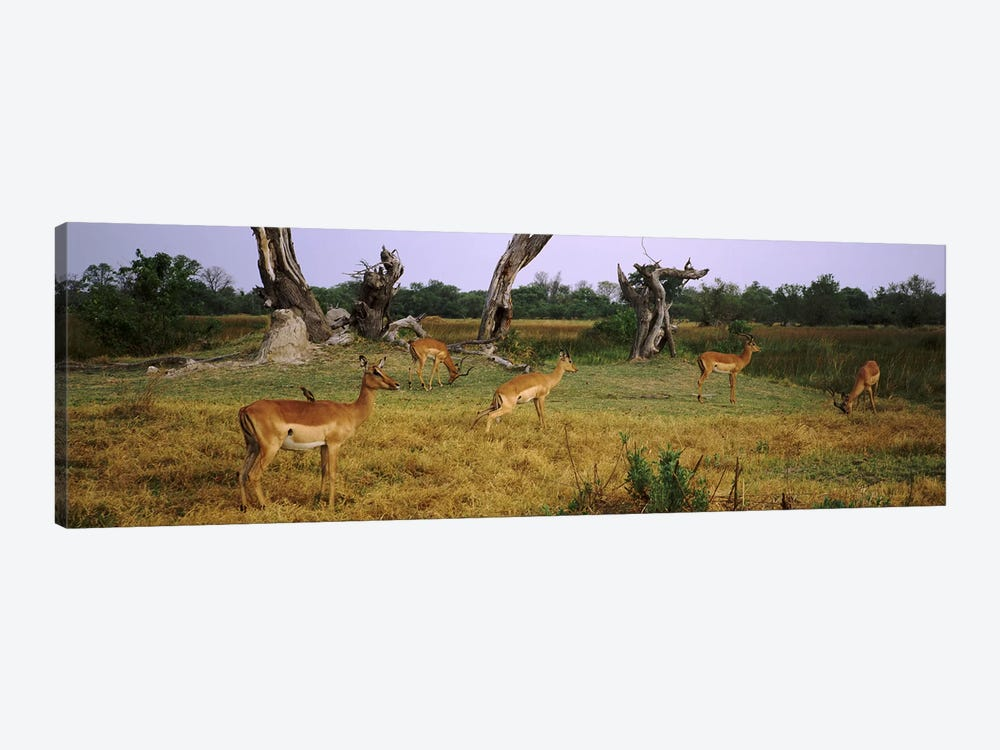 Herd of impalas (Aepyceros Melampus) grazing in a field, Moremi Wildlife Reserve, Botswana by Panoramic Images 1-piece Canvas Art Print